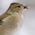 Vogel mit Korn im Mund
